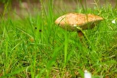 Las pieczarki - jadalny pieczarkowy Leccinum scabrum fotografia royalty free