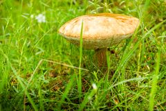 Las pieczarki - jadalny pieczarkowy Leccinum scabrum zdjęcie stock