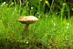 Las pieczarki - jadalny pieczarkowy Leccinum scabrum obraz royalty free