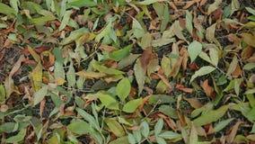 Las piernas femeninas en botas marrones van en follaje de otoño en el parque almacen de video