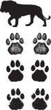 Pistas realistas o huellas del león Imagen de archivo libre de regalías
