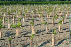 Las plántulas de rojo francés y subieron plantación de las uvas de los triunfos en el franco imagen de archivo libre de regalías