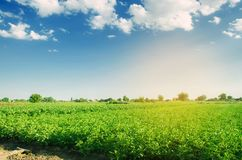 Las plantaciones de la patata crecen en el campo Verduras orgánicas sanas frescas agricultura de las tierras de labrantío fotos de archivo