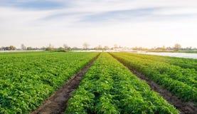 Las plantaciones de la patata est?n creciendo en el campo Veh?culos org?nicos Paisaje agr?cola hermoso Cultivo de agricultura sel fotografía de archivo libre de regalías