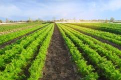 Las plantaciones de la zanahoria crecen en el campo filas vegetales Veh?culos crecientes Granja Paisaje con la regi?n agr?cola Co foto de archivo