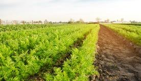 Las plantaciones de la zanahoria crecen en el campo filas vegetales Veh?culos crecientes Granja Paisaje con la regi?n agr?cola Co imagen de archivo libre de regalías