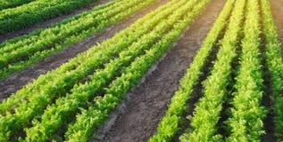 Las plantaciones de la zanahoria se crecen en el campo filas vegetales Veh?culos org?nicos Agricultura del paisaje Cultivo de la  imagen de archivo libre de regalías