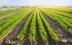 Las plantaciones de la zanahoria se crecen en el campo filas vegetales Veh?culos org?nicos Agricultura del paisaje Cultivo de la  fotos de archivo