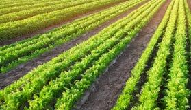 Las plantaciones de la zanahoria se crecen en el campo filas vegetales Veh?culos org?nicos Agricultura del paisaje Cultivo de la  fotografía de archivo libre de regalías