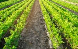 Las plantaciones de la zanahoria se crecen en el campo filas vegetales Veh?culos org?nicos Agricultura del paisaje Cultivo de la  foto de archivo