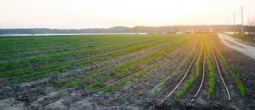 Las plantaciones de la zanahoria se crecen en el campo en la puesta del sol filas vegetales Veh?culos org?nicos Agricultura del p foto de archivo