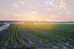 Las plantaciones de la zanahoria se crecen en el campo en la puesta del sol filas vegetales Veh?culos org?nicos Agricultura del p fotos de archivo libres de regalías