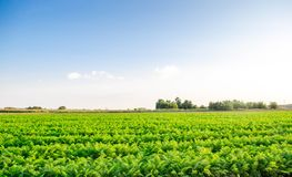 Las plantaciones de zanahorias crecen en el campo Vehículos orgánicos Agricultura del paisaje imagen de archivo libre de regalías