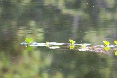 Las plantas acuáticas reflejaron en un lago suavemente de ondulación Imagen de archivo libre de regalías
