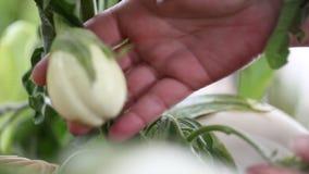 las plantas blancas de las berenjenas, mano toman cuidado en el huerto almacen de video