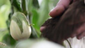 Las plantas blancas de las berenjenas, manos fertilizan el suelo en el huerto almacen de video