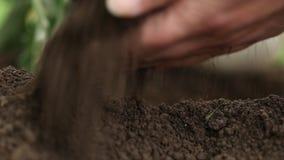 Las plantas blancas de las berenjenas, manos fertilizan el suelo en el huerto, cierre para arriba metrajes