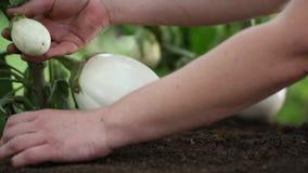 Las plantas blancas de las berenjenas, manos toman el cuidado que trabaja en el huerto metrajes