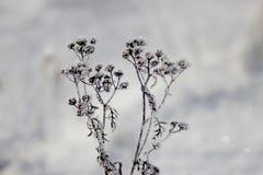 Las plantas congeladas de la pureza de la frescura de Frost se colocan en nieve imagen de archivo