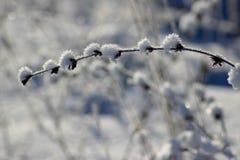 Las plantas congeladas de la pureza de la frescura de Frost se colocan en nieve imagen de archivo libre de regalías