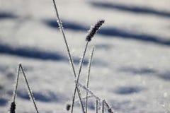 Las plantas congeladas de la pureza de la frescura de Frost se colocan en nieve fotos de archivo