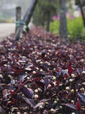 Las plantas cultivadas púrpuras de cubierta Foto de archivo libre de regalías