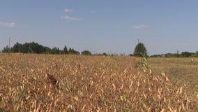 Las plantas de guisante secas maduras crecen en campo de la agricultura de la granja metrajes