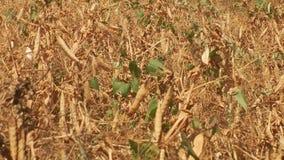 Las plantas de guisante secas maduras crecen en campo de la agricultura de la granja almacen de metraje de vídeo