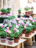 Las plantas de la albahaca con las flores de papel y los poemas vendieron en St Anthony imagenes de archivo