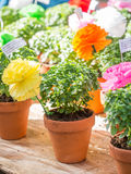 Las plantas de la albahaca con las flores de papel y los poemas vendieron en St Anthony foto de archivo libre de regalías
