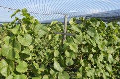 Las plantas de las uvas son protegidas por una red protectora en un viñedo. Imágenes de archivo libres de regalías