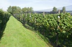 Las plantas de las uvas son protegidas por una red protectora en un viñedo. Fotos de archivo libres de regalías