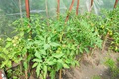 Las plantas de tomate crecen en el parnica SPb Rusia Imagen de archivo libre de regalías