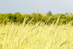 Las plantas del cereal maduran en el cierre del campo para arriba Imagen de archivo libre de regalías