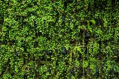 Las plantas desordenadas de la hiedra Imagen de archivo