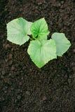 Las plantas jovenes verdes del pepino crecen en el suelo Plantas del pepino Imagenes de archivo