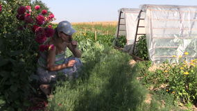 Las plantas naturales sanas del eneldo de la selección de la mujer del jardinero en eco cultivan un huerto almacen de metraje de vídeo