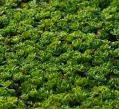 Las plantas naturales verdes en una acción de agua de la charca fotografían Fotos de archivo libres de regalías