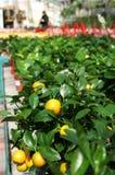 Las plantas ornamentales de la mandarina están en venta Fotografía de archivo libre de regalías