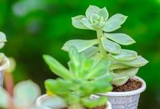 Las plantas suculentas de la flor están floreciendo Foto de archivo libre de regalías