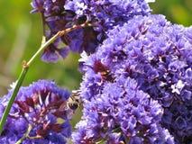 Las plantas violetas coloridas del statice, como este bombacho de la primavera, crecen casi el año redondo en los climas costeros Imagenes de archivo