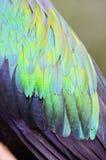 Las plumas de la paloma de Nicobar Fotos de archivo