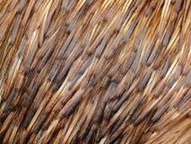 Las plumas del Emu para arriba se cierran Imagen de archivo