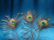 Las plumas del pavo real Imagen de archivo