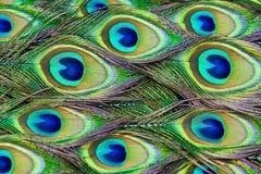 Las plumas del pavo real Imagenes de archivo