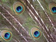 Las plumas del pavo real Fotos de archivo libres de regalías