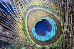 Las plumas del pavo real Imagen de archivo libre de regalías