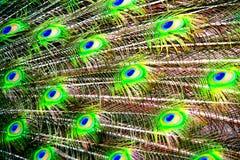 Las plumas del pavo real Fotos de archivo