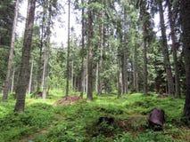las po deszczu zdjęcia royalty free