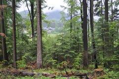 las po deszczu w górach zdjęcia royalty free